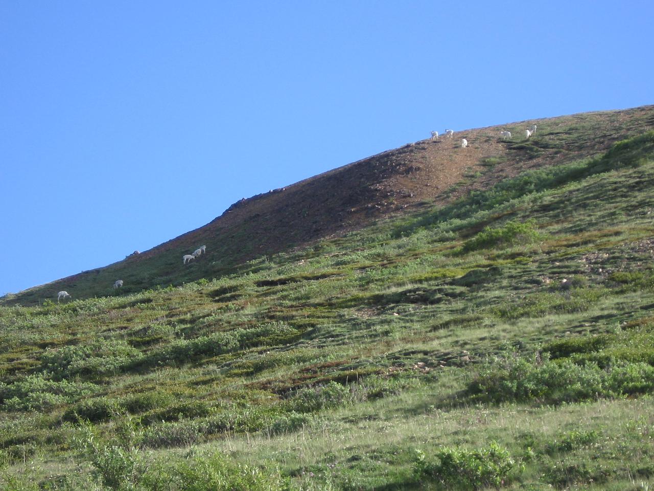 Mountain Goats again