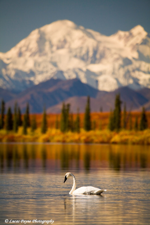 Trumpeter Swan in a pond with Denali (Mt. Mckinley) in the background.<br /> September 05, 2009