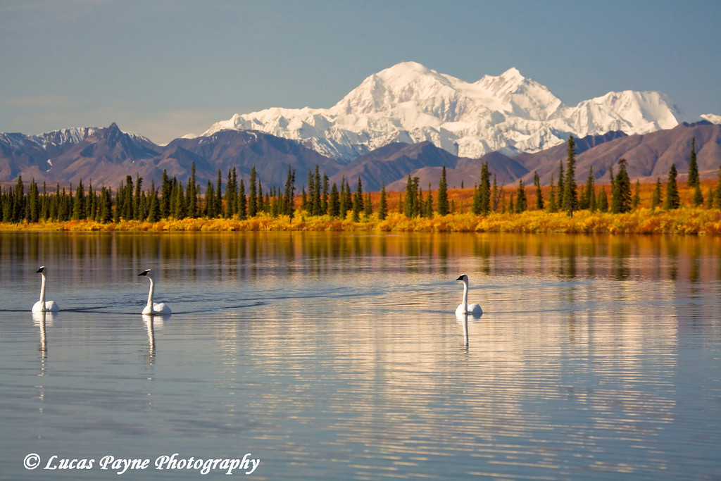 Trumpeter Swans in a pond with Denali (Mt. Mckinley) in the background.<br /> September 05, 2009