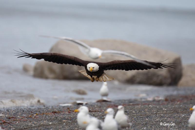 Eagle_Alaska46-