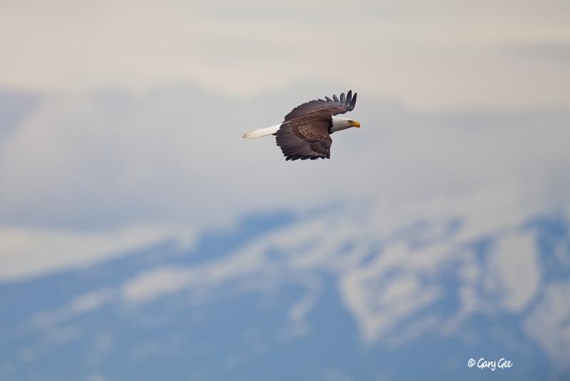 Eagle_Alaska24-
