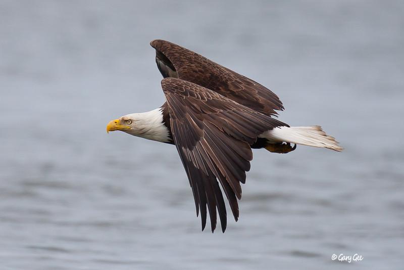 Eagle_Alaska60-