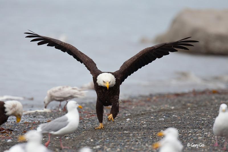 Eagle_Alaska49-