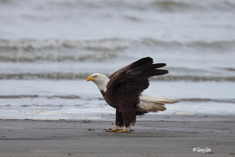 Eagle_Alaska4-