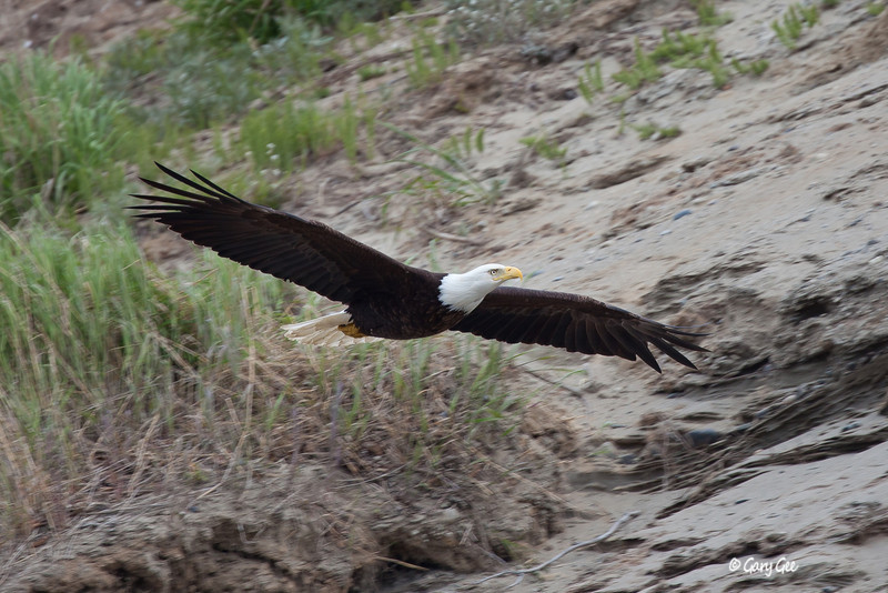 Eagle_Alaska3-