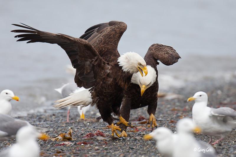 Eagle_Alaska54-