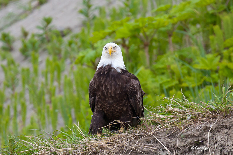 Bald Eagle parked on cliff in Ninilchik, Alaska