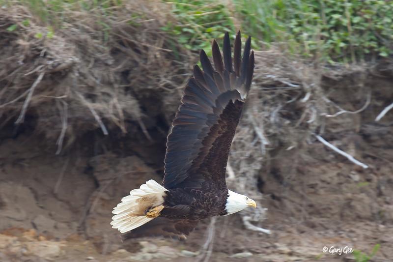 Eagle_Alaska76-