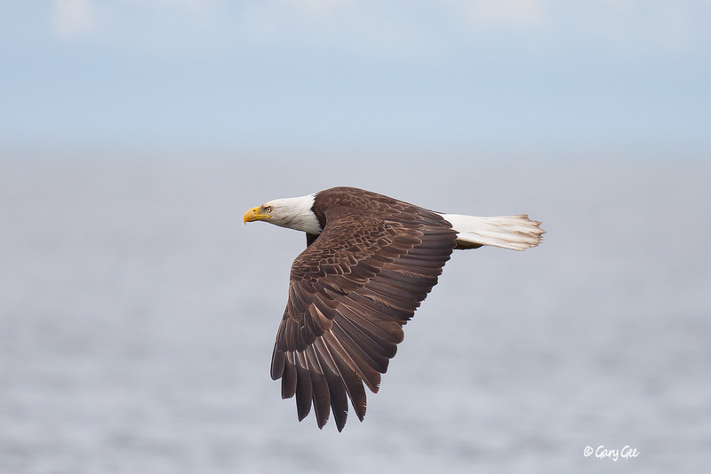 Bald Eagle soars by in Ninilchik, Alaska