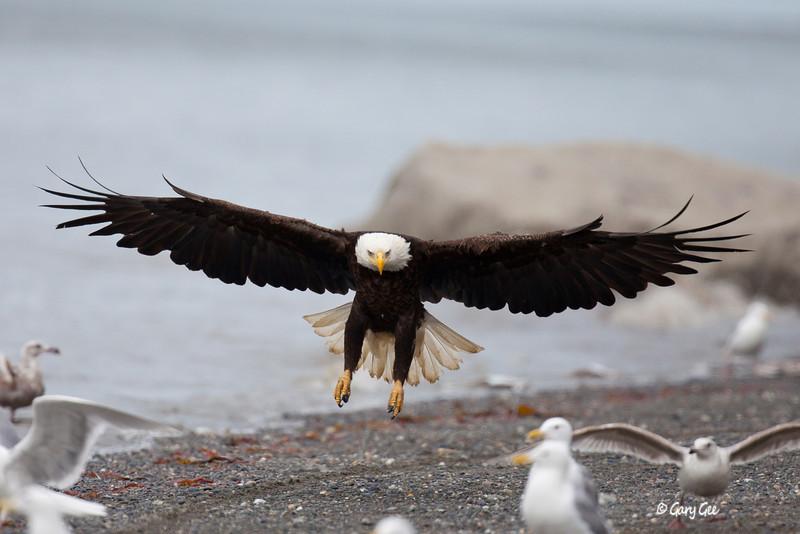 Eagle_Alaska48-