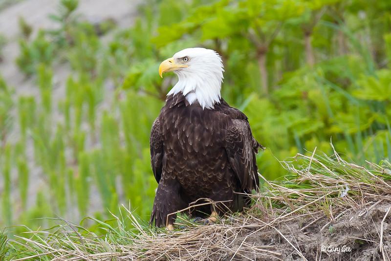 Eagle_Alaska71-