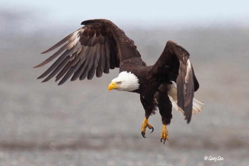 Eagle_Alaska41-