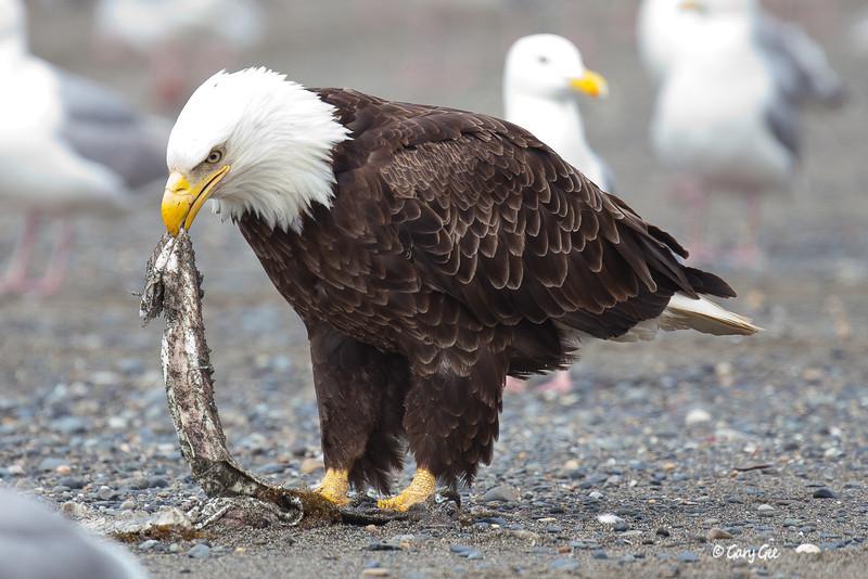 Eagle_Alaska67-