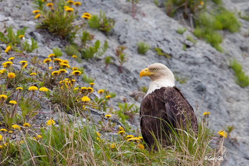 Eagle_Alaska22-