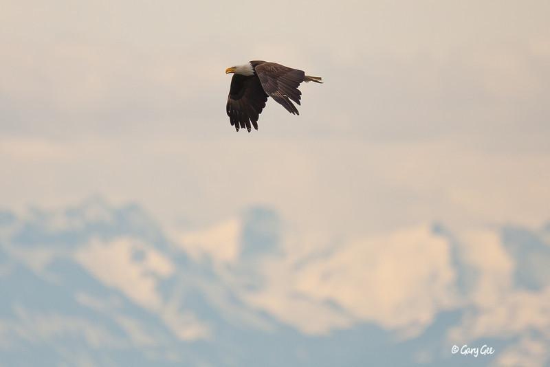 Eagle_Alaska69-