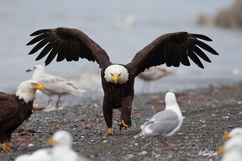 Eagle_Alaska51-