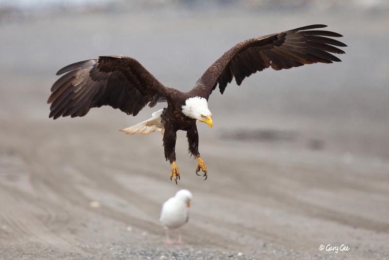 Eagle_Alaska44-