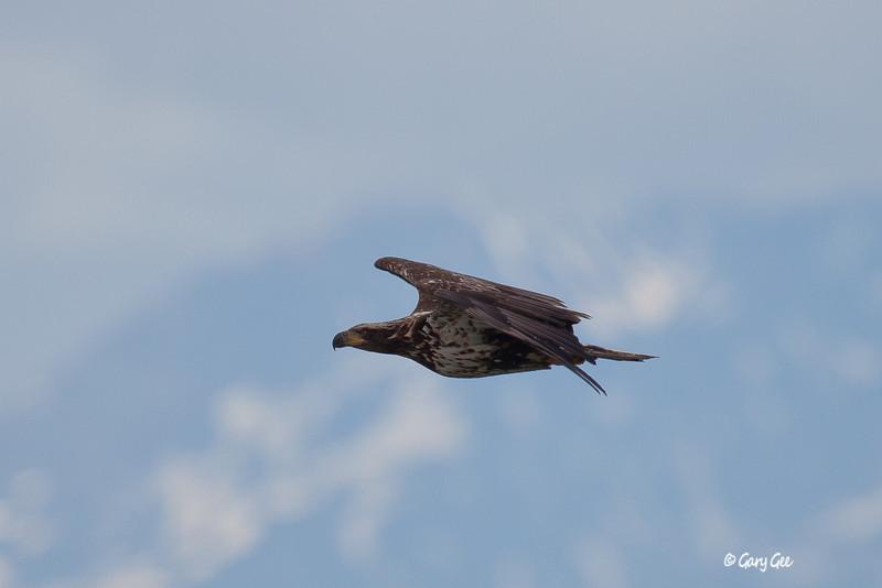 Eagle_Alaska6