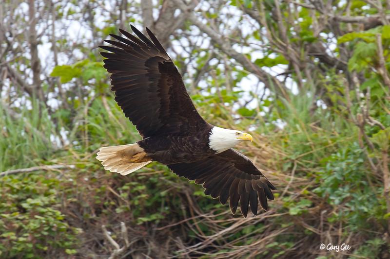 Eagle_Alaska75-