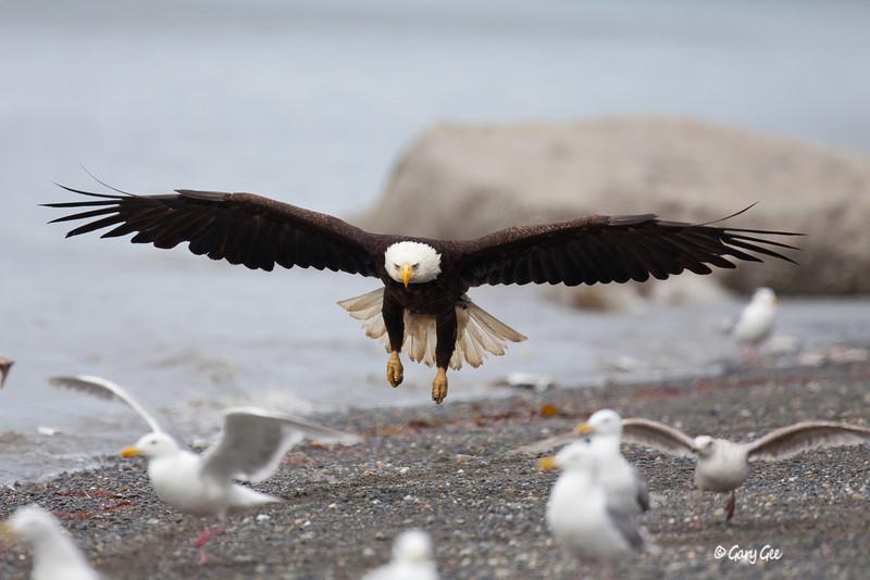 Eagle_Alaska47-