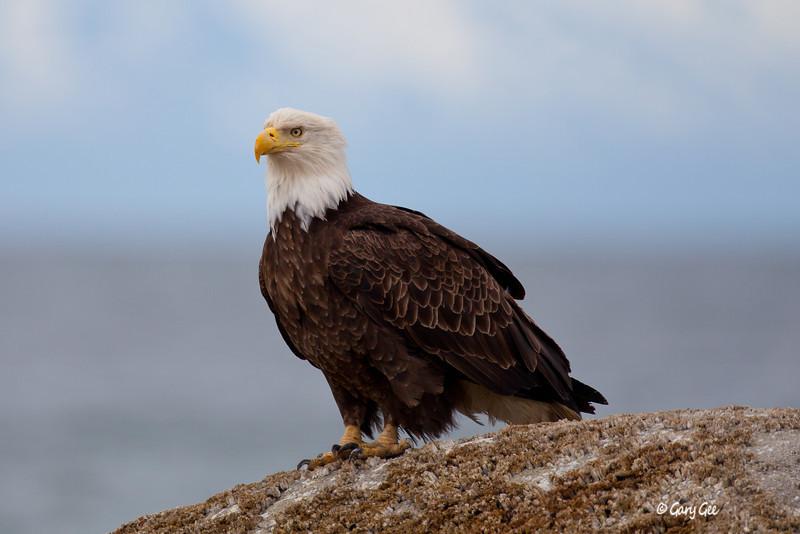 Eagle_Alaska8
