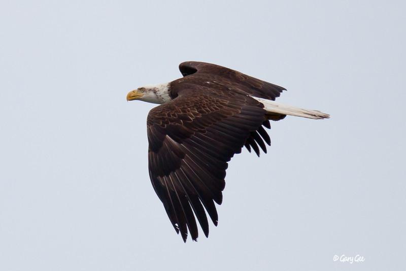 Eagle_Alaska37-