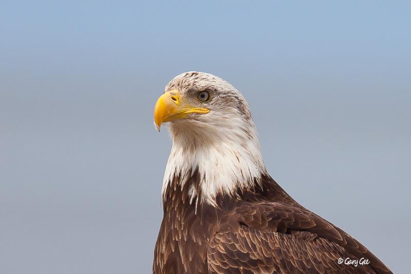 Eagle_Alaska30-