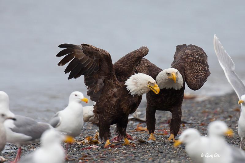 Eagle_Alaska55-