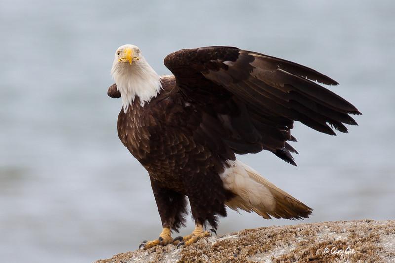 Eagle_Alaska11-