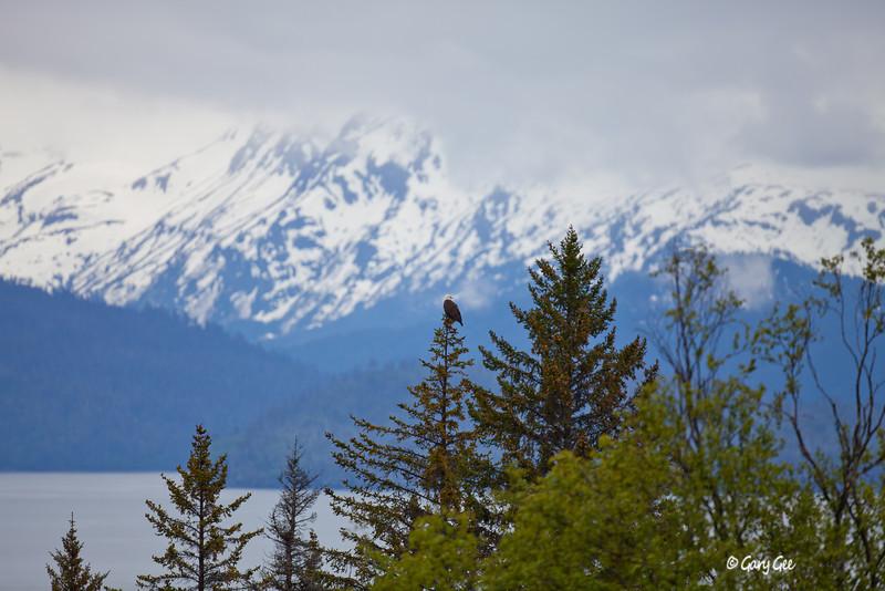 Eagle_Alaska77