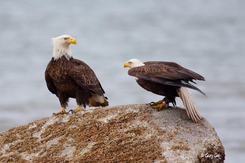 Eagle_Alaska12