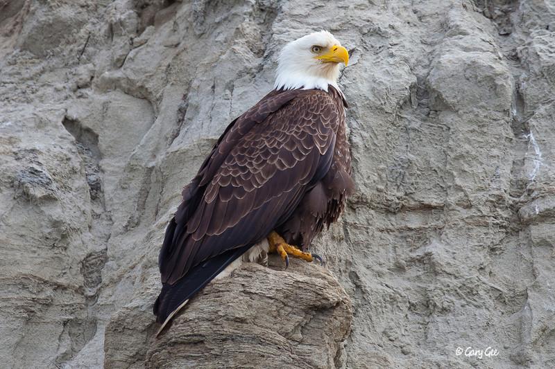 Eagle_Alaska28-