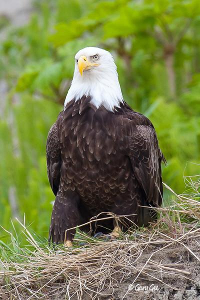 Eagle_Alaska72-
