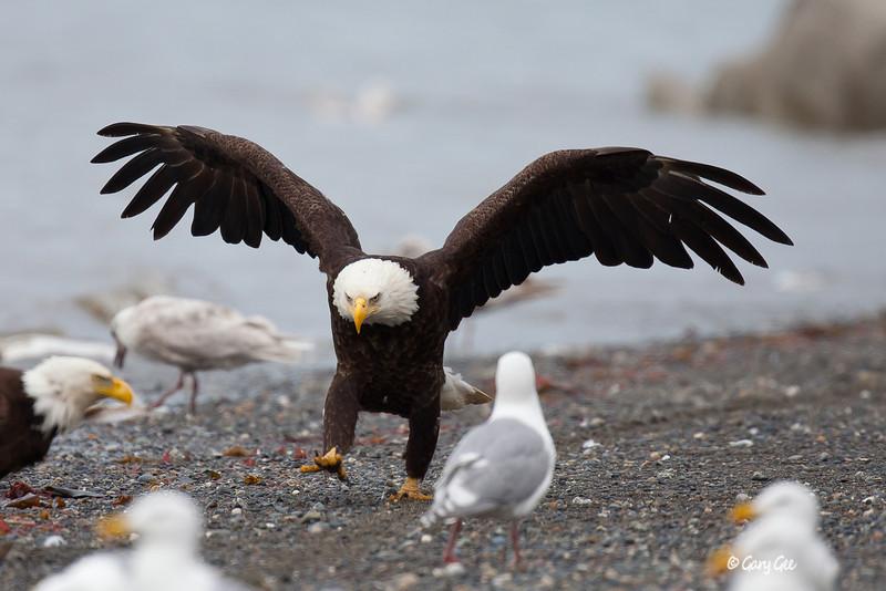 Eagle_Alaska50-