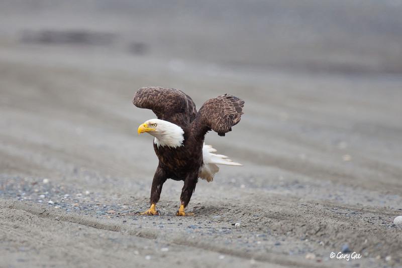 Eagle_Alaska45-