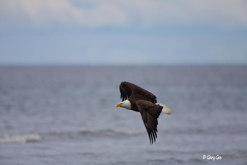 Eagle_Alaska7