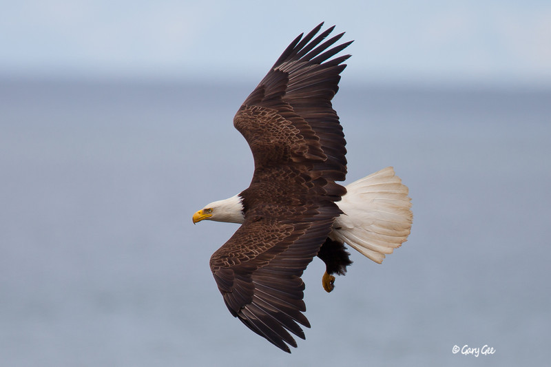 Eagle_Alaska20-