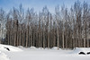 Birch tree forest with pristine snow and blue sky..