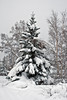 Fir tree heavy with snow.
