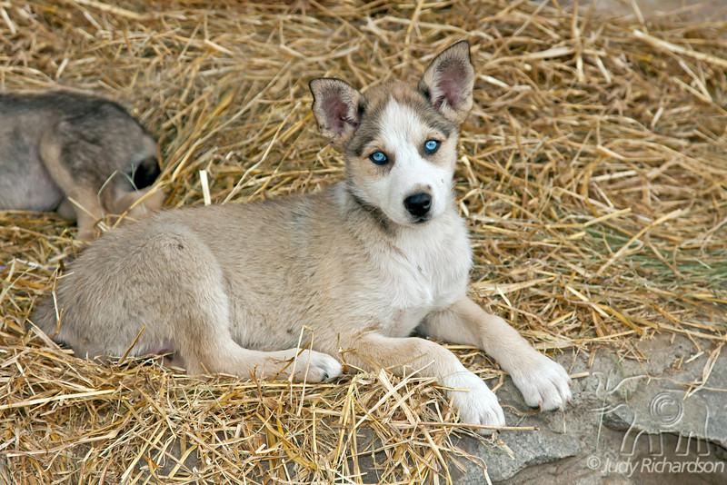 Malamute put with spectacular blue eyes~Fairbanks, Alaska