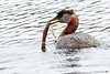 Red-necked Grebe with fish in pond~Fairbanks, Alaska