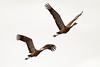 Sandhill Cranes in flight near Creamer's Field~Fairbanks, Alaska