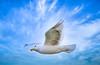 A seagull in flight in Glacier Bay, Alaska, USA.