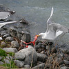 Copper River Gulls eating leftover salmon