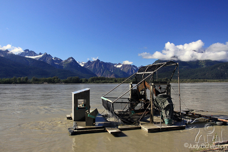 Counting Salmon in Chilkat River Near Haines