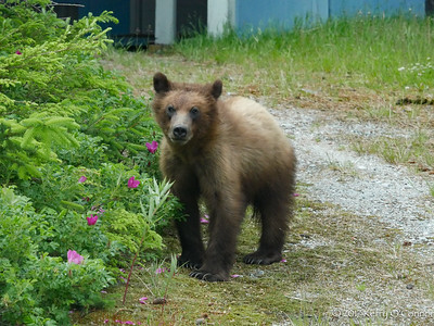 Bear yearling