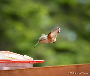 Rufous Hummingbird female aims for the target