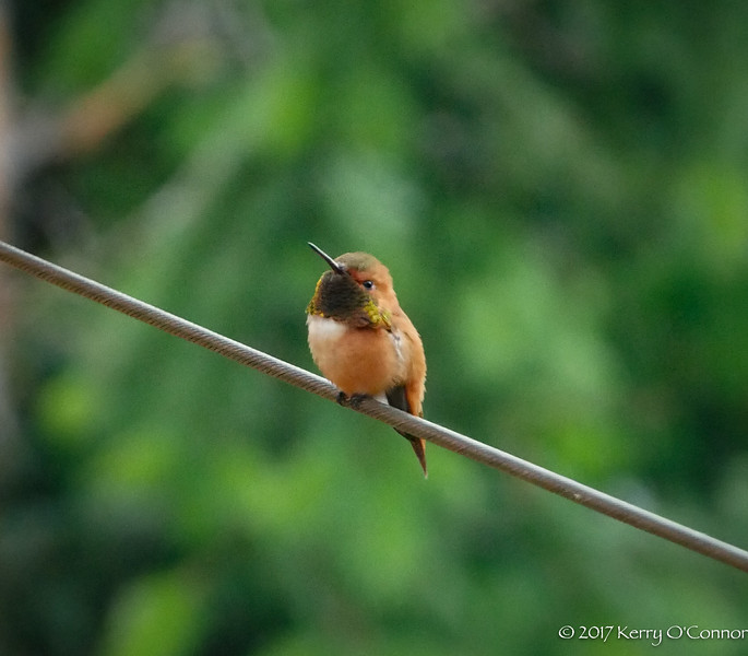 Hummingbird male, look so sweet...