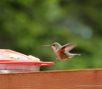 Rufous Hummingbird female landing gears open