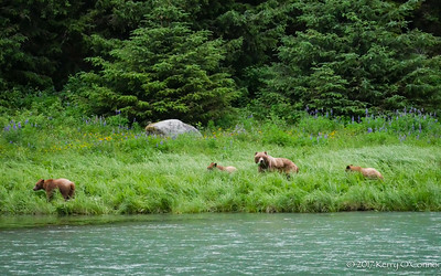 Bear family eating grasses